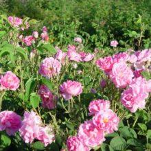 Αποδοτική η καλλιέργεια τριαντάφυλλου – Αυξημένο ενδιαφέρον για τα προϊόντα του Συνεταιρισμού Αρωματικών φυτών Βοΐου Κοζάνης (της Μαρίας Κουζουφη)