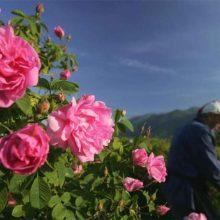 Συνεταιρισµός Αρωµατικών Φυτών Βοΐου: Αν και λιγότερο το αιθέριο έλαιο ρόδων,  πληρώνεται πάλι στα 14.000 ευρώ/κιλό