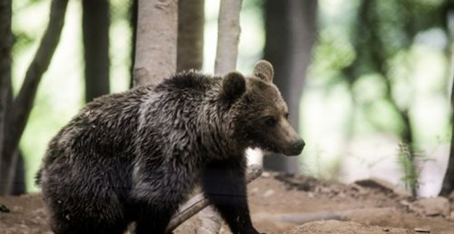 kozan.gr: Επίθεση αρκούδας στον Αυγερινό Βοΐου – Τον δάγκωσε στο πόδι – Ο τραυματίας μεταφέρθηκε αρχικά στο Κέντρο Υγείας Τσοτυλίου και στη συνέχεια στο Μαμάτσειο νοσοκομείο Κοζάνης