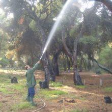 Εργασίες φυτοπροστασίας σε δένδρα στην πόλη της Κοζάνης, την Πέμπτη 5 Σεπτεμβρίου