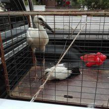 Εντοπισμός και διάσωση δυο πελαργών στην Τ.Κ. Ιτιάς του Δήμου Φλώρινας (Φωτογραφίες)
