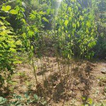 Συνελήφθησαν 2 άτομα για καλλιέργεια 49 δενδρυλλίων κάνναβης, σε δασική περιοχή της Καστοριάς (Φωτογραφίες)