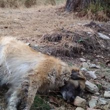 Περισσότερα από 50 είναι τελικά τα σκυλιά που έπεσαν θύματα των δηλητηριασμένων δολωμάτων μέσα σε διάστημα μόλις 10 ημερών (7-17 Σεπτεμβρίου) σε χωριά του Αμυνταίου και της Φλώρινας!