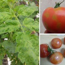 """Δ/νση Αγροτικής Οικονομίας και Κτηνιατρικής Π.Ε. Κοζάνης: Ενημέρωση για τον επιβλαβή οργανισμό """"Ιός της καστανής ρυτίδωσης  των καρπών της τομάτας"""" (Tomato Brown Rugose Fruit Virus – ToBRFV)"""