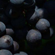 Ξινόμαυρο και άλλες ποικιλίες Δυτικής Μακεδονίας: Μείωση παραγωγής αλλά καλή ποιότητα