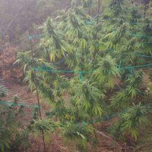 Συνελήφθη 35χρονος σε δασική περιοχή της Κοζάνης για καλλιέργεια δενδρυλλίων κάνναβης (Φωτογραφίες)