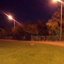 kozan.gr: Φωτογραφίες από εμφάνιση αλεπούς το βράδυ της Δευτέρας 14 Οκτωβρίου στο στρατιωτικό γήπεδο στην Κοζάνη