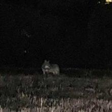 Οι λύκοι στην Παναγία της Κοζάνης – Δείτε φωτογραφίες
