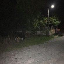 Σχόλιο αναγνώστη στο kozan.gr: Αγελάδα στο δρόμο στην Αγία Παρασκευή στην Κοζάνη ενδεχομένως να προκαλέσει ατύχημα (Φωτογραφίες)