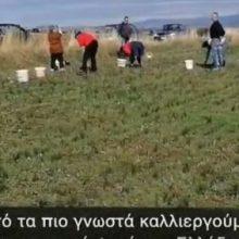 Αφιέρωμα στον Κρόκο από το Δήμο Κοζάνης (Βίντεο)