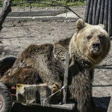 ΑΡΚΤΟΥΡΟΣ: Ο Ούσκο, ο μαχητής της ζωής, που κατάφερε να γίνει η πρώτη αρκούδα στον κόσμο που κινείται με αναπηρικό αμαξίδιο, δεν ZEI πια