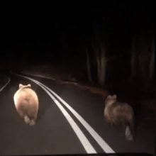 kozan.gr: Αρκούδα με τα δύο αρκουδάκια της σε επαρχιακό δρόμο κοντά στην Κλεισούρα Καστοριάς  (Βίντεο)
