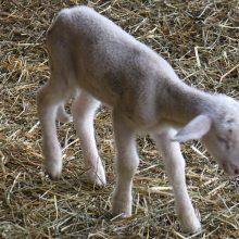 Μεγάλη αναστάτωση σε κτηνοτρόφους περιοχών της Δυτικής Μακεδονίας, από το υψηλό ποσοστό θνησιμότητας που παρουσιάζουν τα νεογέννητα αμνοερίφια την τρέχουσα περίοδο γέννας