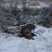 Η ανακοίνωση της Αποκεντρωμένης Διοίκησης Ηπείρου – Δυτικής Μακεδονίας για την επιχείρηση διάσωσης της παγιδευμένης αρκούδας στην Τ.Κ. Λευκώνα Πρεσπών της Π.Ε. Φλώρινας