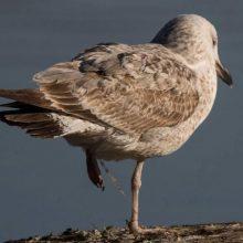 Καστοριά: Το ξεπάγωμα της λίμνης «αποκάλυψε» πτώματα πουλιών μπλεγμένων σε δίχτυα