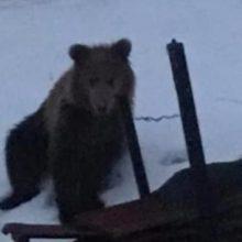Την εμφάνισή της έκανε άλλη μία αρκούδα στην περιοχή του Αγίου Γεωργίου, στην πόλη της Φλώρινας (Bίντεο)