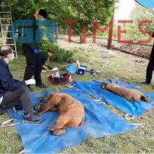 Στο φυσικό τους περιβάλλον επέστρεψαν δύο αρκούδες που φιλοξενούνταν στο καταφύγιο του Αρκτούρου