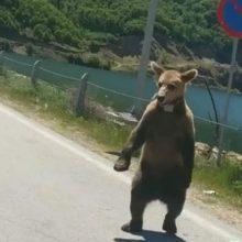"""Φλώρινα: Ο Κούπερ, του """"Αρκτούρου"""", το αρκουδάκι που βόλταρε στο Φράγμα της Τριανταφυλλιάς και συνάντησε μια παρέα κοριτσιών που περνούσε από το σημείο με το αυτοκίνητό της (Βίντεο)"""