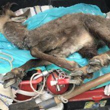 Νεκρό νεαρό αγριόγιδο από πτώση στο οδόστρωμά της Εγνατίας Οδού (κοντά στο Κηπουριό Γρεβενών)