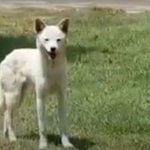 kozan.gr: Αυτό είναι το τετράποδο, που εμφανίστηκε, το πρωί του Σαββάτου, στα «σκληρά» του Νοτίου Πεδίου της ΔΕΗ και προκάλεσε συζήτηση μεταξύ των εργαζομένων για το τι είναι – Τσακάλι ή σκύλος; (Bίντεο)