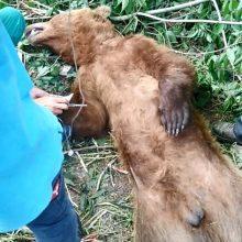 Η Αποκεντρωμένη  Διοίκηση  Ηπείρου – Δυτικής Μακεδονίας για το περιστατικό με τη παγιδευμένη αρκούδα σε δασική περιοχή της Τοπικής Κοινότητας Ροδίτη του Δήμου Σερβίων