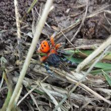 """kozan.gr: Σπάνια αράχνη """"Πασχαλίτσα"""" εμφανίστηκε και στoν κάμπο του Μαυροδενδρίου Κοζάνης (Φωτογραφίες)"""
