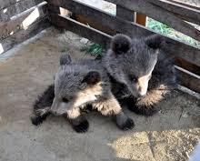 Δυο μικρά αρκουδάκια εντοπίστηκαν στον οικισμό Ομαλής της Δ.Ε. Τσοτυλίου του Δήμου Βοΐου