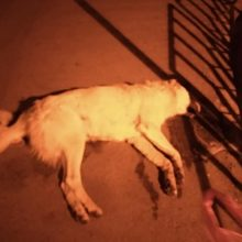 Εθελοντές Πτολεμαΐδας: 3 σκυλιά νεκρά από δηλητηριασμένη τροφή