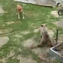 kozan.gr: Ομαλή Βοΐου: Αρκουδάκι μπήκε σε αυλή σπιτιού, εγκλωβίστηκε και βρέθηκε αντιμέτωπο με δεσποζόμενο σκύλο – Δείτε τι συνέβη  (Βίντεο)