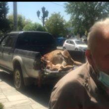 Kαστοριά: Παράσταση διαμαρτυρίας, από κτηνοτρόφο – Αρκούδα κατασπάραξε μοσχάρια από το κοπάδι του (Βίντεο)