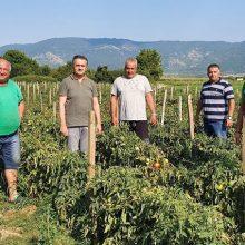 """Γ. Κασαπίδης: """"Η παραγωγή της περίφημης τομάτας Καστοριάς σε παραλίμνια χωριά ζημιώθηκε σημαντικά"""" (Φωτογραφίες)"""