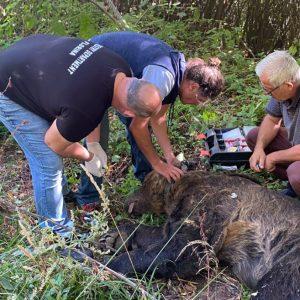 Εντοπισμός παγιδευμένης αρκούδας στην επαρχιακή οδό Φλώρινας-Κλεινών του Δήμου Φλώρινας (Φωτογραφίες)