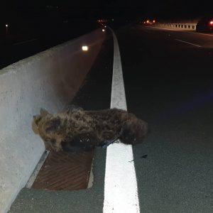 Νεκρή αρκούδα, μετά από τροχαίο, στην Εγνατία Οδό, στο ύψος της Μυρσίνης Γρεβενών (Βίντεο & Φωτογραφίες)