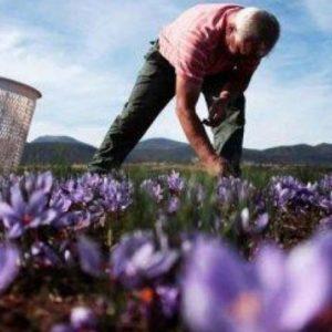 Με προβλήματα λόγω κορωνοϊού και έλλειψης αλλοδαπών εργατών ξεκίνησε η συλλογή των λουλουδιών του κρόκου