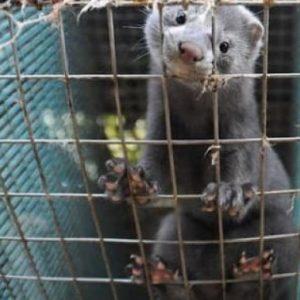 Περιφέρεια Δυτικής Μακεδονίας: Εντατικοποίηση ελέγχων εκτροφών γουνοφόρων ζώων στη Δυτική Μακεδονία