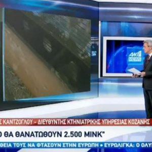 """kozan.gr: Διευθυντής Κτηνιατρικής Υπηρεσίας Κοζάνης Θεόφιλος Καντζόγλου στον ΑΝΤ1: """"Η γούνα των θανατωμένων ζώων δεν θα χρησιμοποιηθεί, θα καταστραφούν αυτούσια τα ζώα. Σύμφωνα με τελευταίες πληροφορίες που έχω, θα προβλεφθεί αποζημίωση"""" (Bίντεο)"""