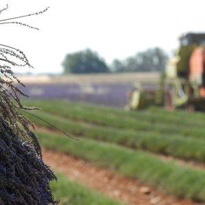 Πάει για ξήλωμα η λεβάντα, αναζητούν διέξοδο οι παραγωγοί – Tι αναφέρουν παραγωγός και ιδιοκτήτης αποστακτηρίου από την Κιβωτό Γρεβενών & ιθύνοντες στο συνεταιρισµό αρωµατικών φυτών Βοΐου Κοζάνης