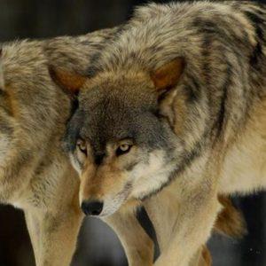 Διπλή θανατηφόρα επίθεση λύκων σε κυνηγόσκυλα στο Βέρμιο, ενδιάμεσα από Άνω Σέλι και Μεσόβουνο Εορδαίας