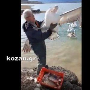 kozan.gr: Όταν ο Ν. Κουρτίδης ταΐζει, με ψάρια (που μόλις αλίευσε), τους πελεκάνους της Λίμνης Πολυφύτου (Βίντεο)
