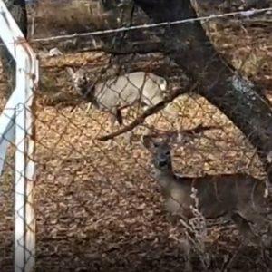 kozan.gr: Τα όμορφα ελαφάκια στη μη προσβάσιμη πλευρά του δάσους Κουρί στην Κοζάνη (Σημερινό βίντεο)