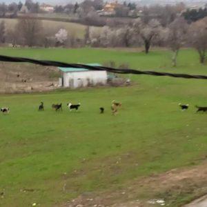 Σχόλιο αναγνώστη στο kozan.gr: Αγέλη αδέσποτων σκύλων με 16 σκυλιά στην περιοχή του Αγ. Αθανασίου (Φωτογραφίες)