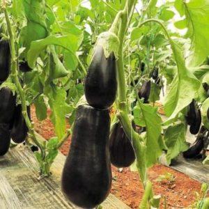 Εμφάνιση του επιβλαβούς οργανισμού Eggplant mottled crinkle virus EMCV  (Ιός της ποικιλοχλώρωσης με ρυτίδωση της μελιτζάνας)