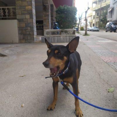 Βρέθηκε το σκυλάκι της φωτογραφίας περιπλανώμενο στην περιοχή του κόμβου για Κρόκο και φορούσε μπλε λουρί περιπάτου