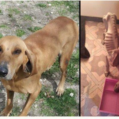 """Έγινε καλά και χρειάζεται σπιτικό ο σκύλος """"Mανώλης"""" που βρέθηκε, πριν καιρό, σχεδόν, σκελετωμένος στον Κρόκο Κοζάνης"""