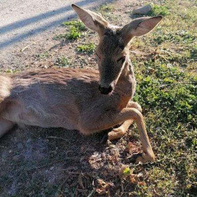 Τραυματισμένο ζαρκάδι βρέθηκε σε περιοχή της Καστοριάς