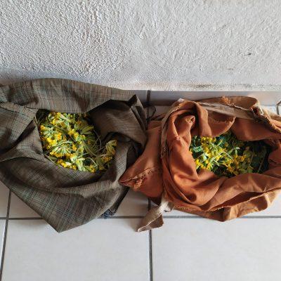 Σύλληψη δύο ατόμων σε περιοχή του ορεινού όγκου της Καστοριάς για παράνομη συλλογή  1 κιλού και  590 γραμμαρίων αρωματικού-θεραπευτικού φυτού (Φωτογραφία)