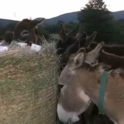 "kozan.gr: H πρωινή σημερινή (6/6) ζωντανή σύνδεση της ΕΡΤ1 με τη  Φάρμα 'Τσιχουρίδη' στην Οινόη Κοζάνης με το περιζήτητο γάλα γαϊδούρας  – Πως μια αλλεργία της κόρης του  στο γάλα ""γέννησε"" τη συγκεκριμένη επιχειρηματική ιδέα (Βίντεο)"
