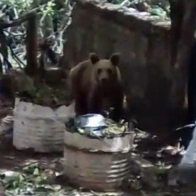 kozan.gr: Σημερινό βίντεο κοντινής λήψης με αρκούδα μέσα σε αυλή σπιτιού στο χωριό Βυθός του Δήμου Βοΐου