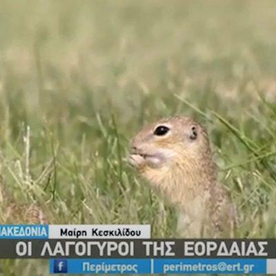 kozan.gr: Οι Λαγόγυροι της Εορδαίας, οι εδαφόβιοι σκίουροι που εντυπωσιάζουν (Βίντεο)