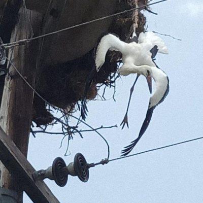 kozan.gr: O ΔΕΔΔΗΕ Κοζάνης συνεχίζει να προστατεύει τους πελαργούς – Άμεση επέμβαση, ακόμη μια φορά, για τη διάσωση ενός πελαργού στην Αιανή Κοζάνης (Φωτογραφίες)